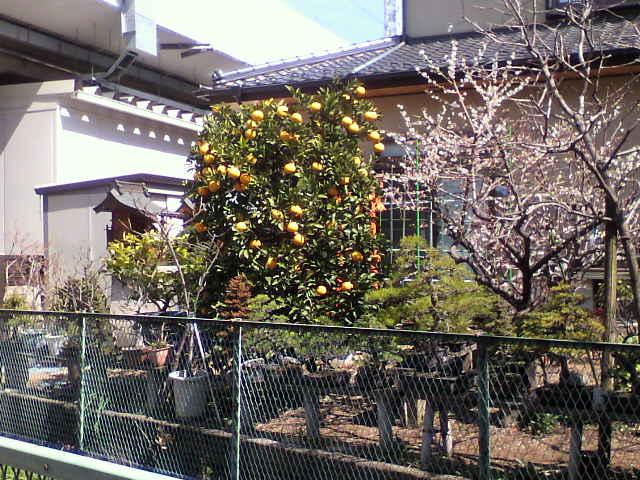 関東の柑橘類