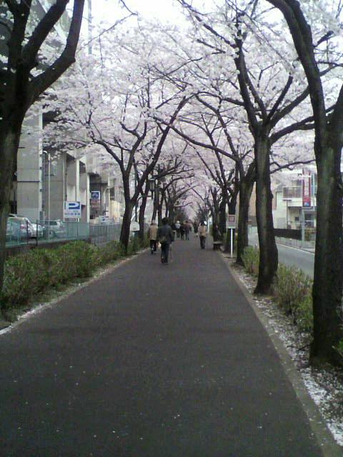 桜の遊歩道