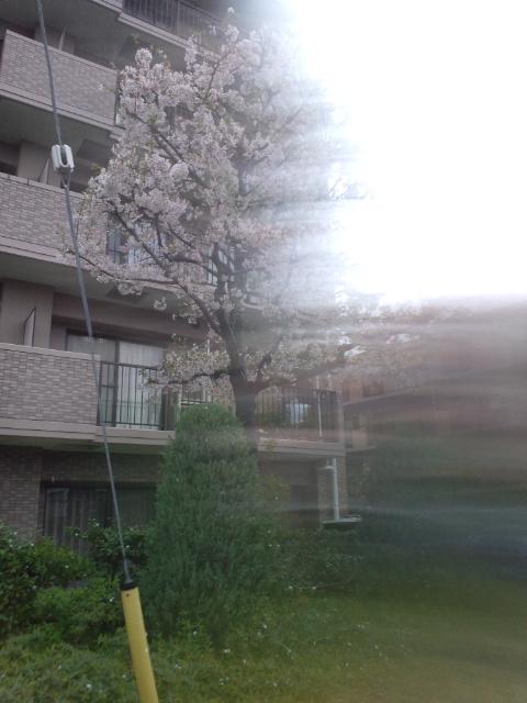 雨で桜が散っちゃいますかね