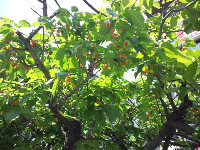 早咲きのさくらんぼ