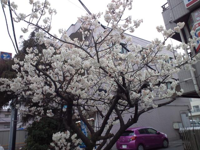 早咲き桜満開